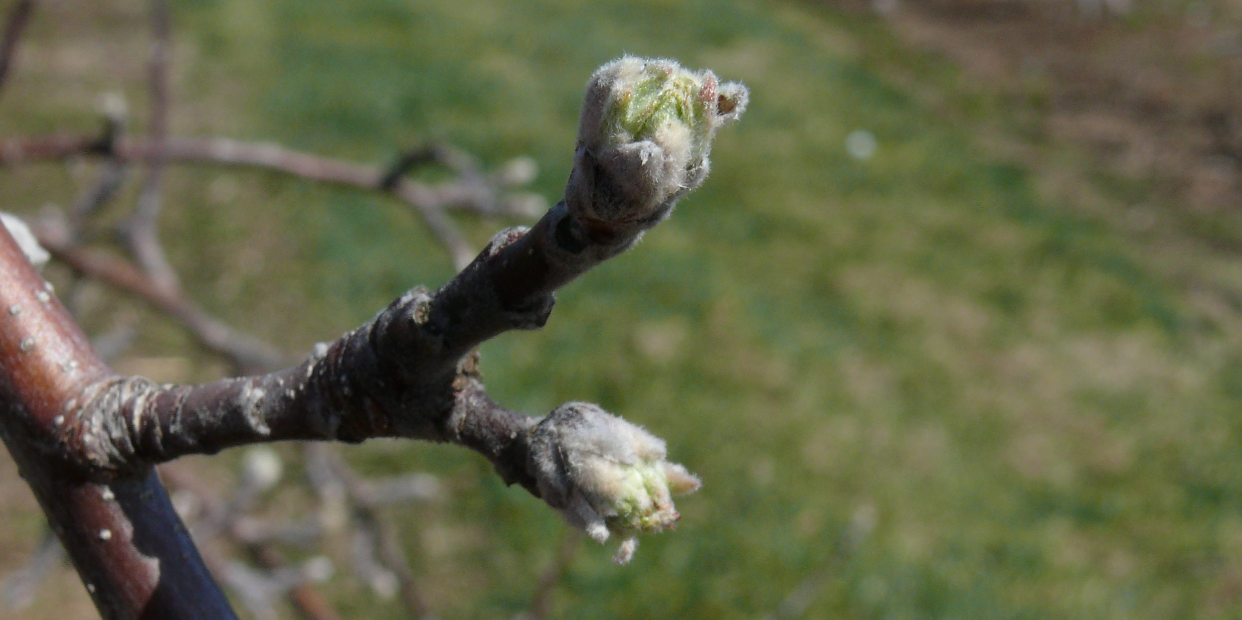 Photo of vegetative buds on apple branch showing green tissue
