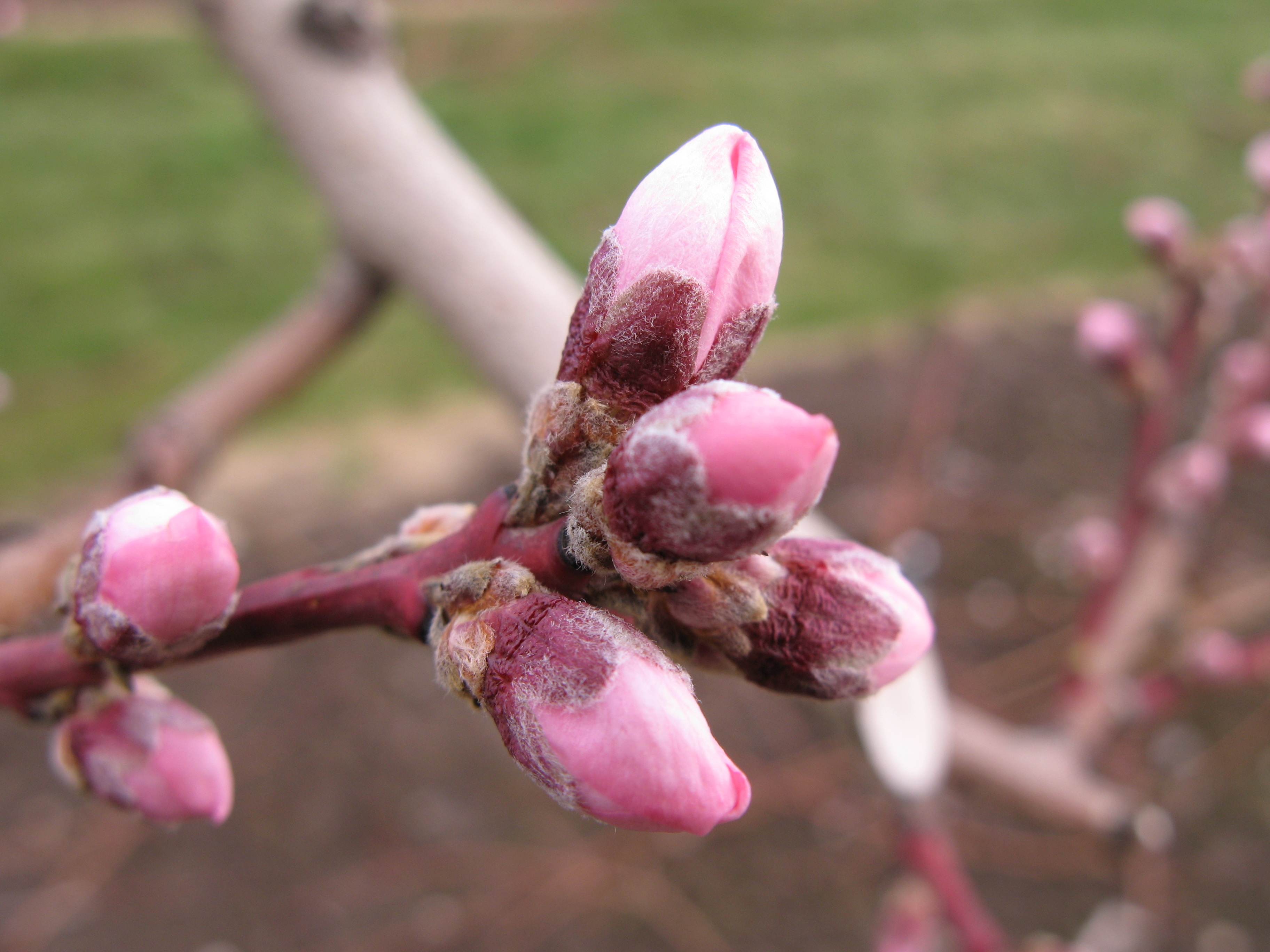 Several peach blossoms showing pink petals pre-bloom