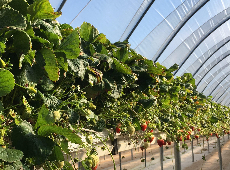 Strawberries grown under tunnels in raised troughs
