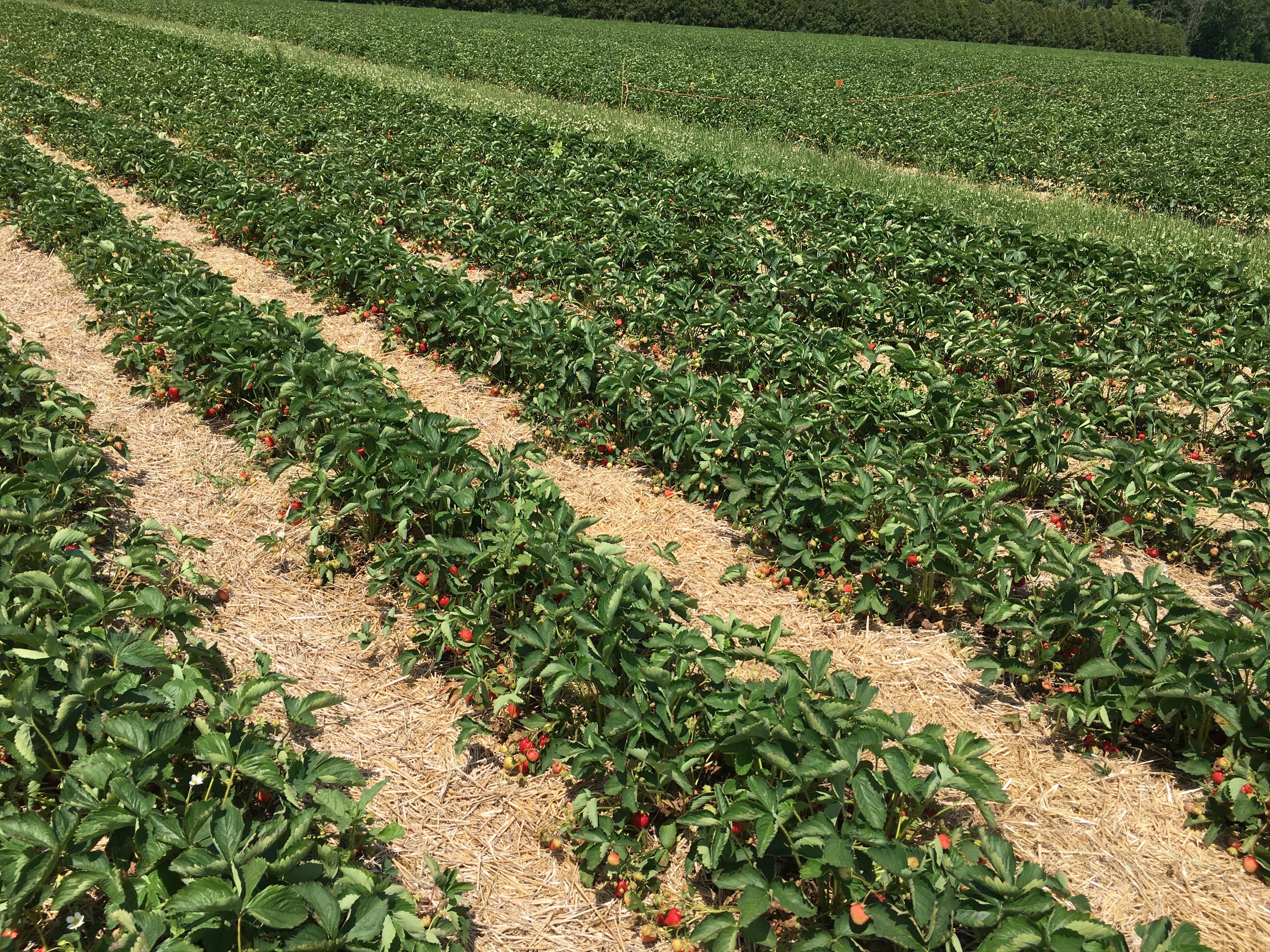 June-bearing strawberry field